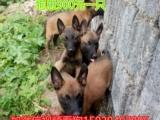 出售马犬种公种母幼犬