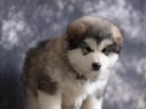 芜湖哪里有宠物狗卖 阿拉斯加幼犬出售 带证书