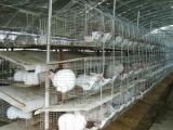 獭兔养殖基地 獭兔养殖技术 野兔养殖成本 肉兔市场价格