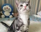 美国短毛猫美短银虎斑起司猫公母加白
