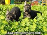 佛山德国牧羊犬 价格合理 实物拍摄 售后三包