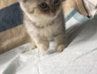 英短小猫,求长期饭票