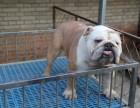 泉州纯种英国斗牛犬大概多少钱一只品种纯正 售后保障 签协议