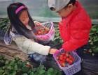 户外草莓采摘农家乐二大采摘基地水果蔬菜采摘园