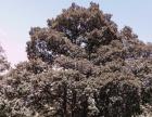 丽江13000亩用材林转让