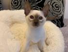 成都 出售纯正暹罗猫咪 生活自理健康活泼可爱 全国发货