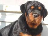 专业繁殖基地出售铁包金罗威纳 热销纯种罗威纳幼犬