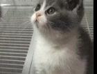 蓝白英短猫1999元价格对图