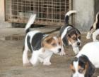 东莞哪里卖纯种比格犬 东莞比格猎犬多少钱 东莞猎犬价格