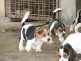 南京哪里卖纯种比格犬 南京比格猎犬多少钱 南京猎犬价格是多少