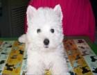 西高地犬 常年销售 包细小犬瘟冠状 包防疫包纯种