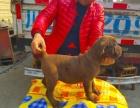 2个月卡斯罗1600 狗贩子别联系