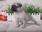 临沂 正经中略带呆萌 老板范十足 高品质巴哥幼犬