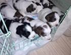 精品史宾格幼犬5公1母接受预定