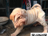 在哪里买纯种的沙皮幼犬 沙皮幼犬最低多少钱