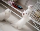英短银渐层英短高地长毛高地出售纯种猫幼崽价格优