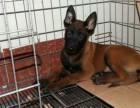 马犬幼犬低价出售 马犬价格