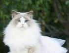 求爱心人士收养我的小甜心布偶猫咪