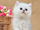 纯正金吉拉猫——多窝选择——支持视频