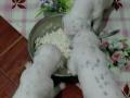 纯种斑点狗犬