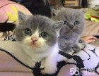 自家猫生育纯正血统高亮蓝白英短 蓝猫宝宝