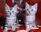 美国短毛蓝虎斑 美国短毛猫 银虎斑 立耳美短猫出售
