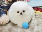 上海精品宠物繁殖基地长期出售博美幼犬 保证品质健康