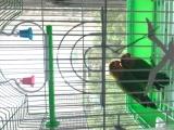 出售两只牡丹鹦鹉