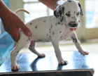 纯那种双血统斑点狗健康保障60天 送货上门
