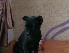 单血卡斯罗幼犬出售