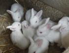 大型优越兔业养殖场肉兔野兔养殖签订回收包技术送饲料