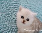 极品纯种英国短毛猫银渐层幼猫找新家