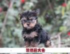 深圳聚德庄犬舍 只为国内繁殖优秀的宠物狗宝宝 约克夏