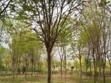 日照20公分紫叶李基地专业种植苗木