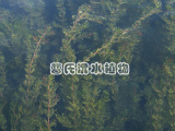 狐尾藻,宜春品种好的狐尾藻供应