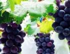 黄州区陈策楼镇甄家仓葡萄园葡萄采摘 批发开始了