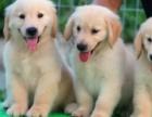纯种健康品相超好专业繁殖金毛犬 血统纯种 疫苗齐全