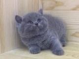 纯种大脸精致蓝猫蓝白出售 活泼可爱健康保障 疫苗已做