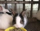各花色品种的宠物兔猫猫兔侏儒兔
