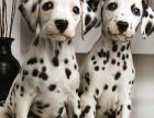cku注册五星级犬舍 双血统斑点狗可上门挑选
