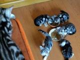 美国卷耳猫 虎斑 蓝猫 渐层价格呆萌 能送选