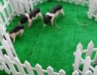 杭州西湖区荷兰猪出租-羊驼出租-矮脚马转租-展览展示庆典暖场