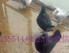 莱芜出售观赏鸽元宝鸽、淑女鸽、头型鸽、马头鸽、凤尾鸽