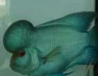 长期出售罗汉鱼