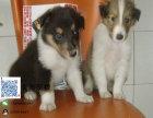 出售苏牧幼犬 纯种健康苏牧狗狗 疫苗已做包健康