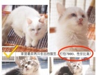 养猫不要只养一只,布偶妹妹+起司弟弟