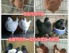 石嘴山元宝鸽养殖场,观赏鸽价格,品种齐全