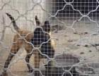 低价出售三个月的马犬 马犬图片