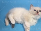 CFA布偶猫莫妮卡直血带证出售