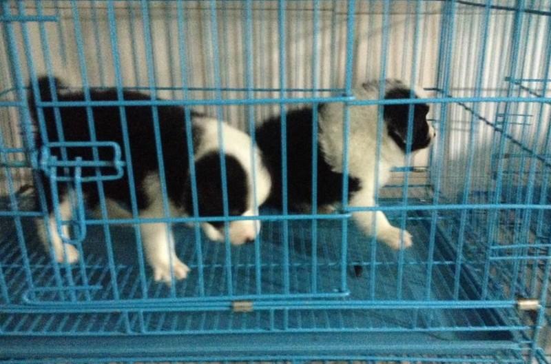 600起出售聪明勇敢边境牧羊犬幼犬出售 较忠诚伴侣边境宝宝
